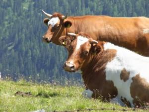 cows-55615_640